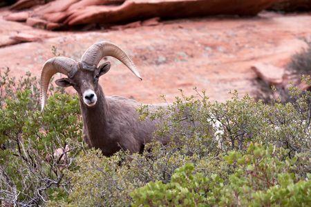 Desert Bighorn Ram Sheep Stock Photo - 8159543