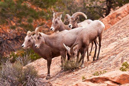 heard: Heard Of Desert Big Horn Sheep