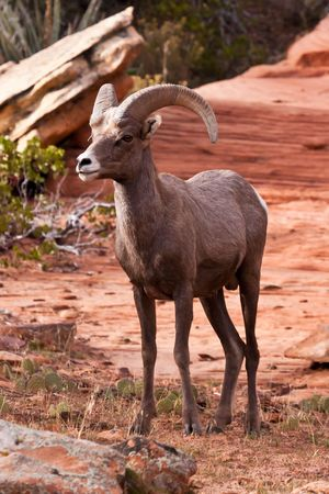 ram sheep: Desert Big Horn Ram Sheep in Utah's Zion National Park Stock Photo