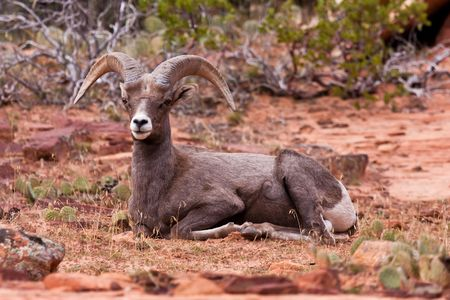 ram sheep: Desert Big Horn Ram Sheep in Zion National Park Stock Photo