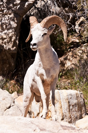 ram sheep: Albino Bighorn Ram Sheep in Nevada's Red Rock Canyon