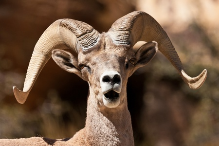 ram sheep: Bighorn Ram Sheep Red Rock Canyon Nevada