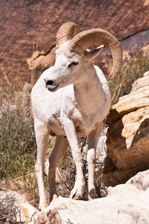 ram sheep: Albino Bighorn Ram Sheep in Red Rock Canyon Nevada