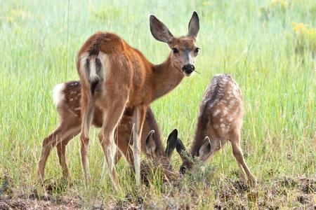 black tail deer: Black Tailed Mule Deer Doe and Fawns