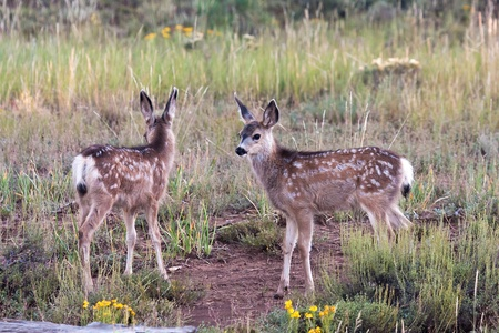 black tail deer: Utah Black Tailed Mule Deer Fawns