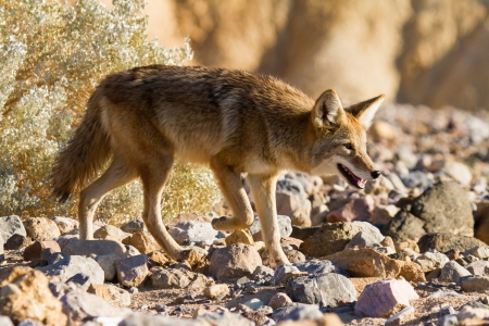 Coyote In Death Valley National Park California photo