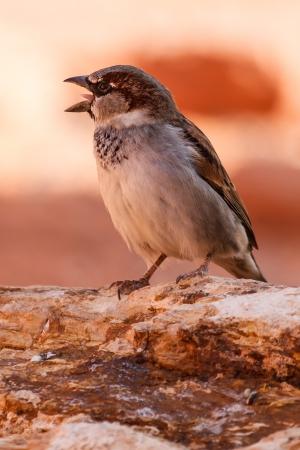 animales del desierto: Piante Mojave Desert Sparrow Bird In Valley Of Fire State Park en Nevada