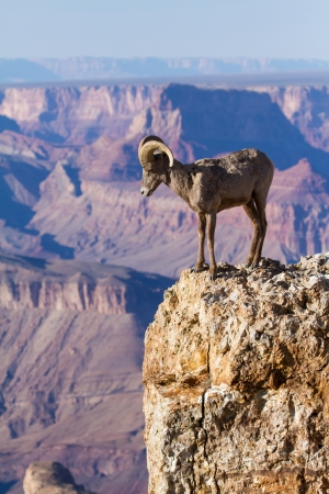 砂漠のビッグホーン Ram グランドキャニオンの端に立っています。