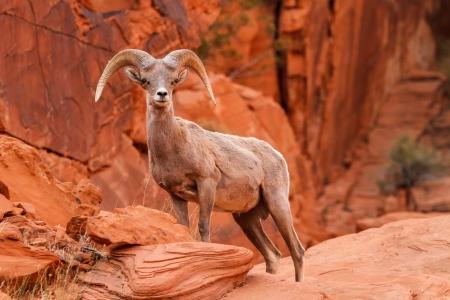 Mojave Desert Big Horn Sheep Ram