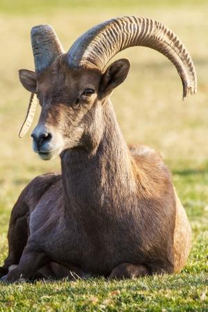 Nevada Desert Big Horn Ram Sheep
