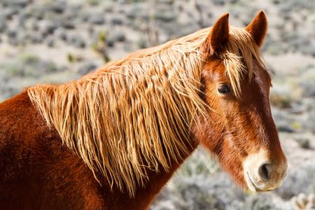 Western Wild Horse In Spring Mountains Nevada