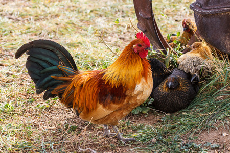 Colorful Farm Rooster with Hens