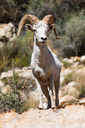 ram sheep: Nevada White Desert Big Horn Ram Sheep Stock Photo
