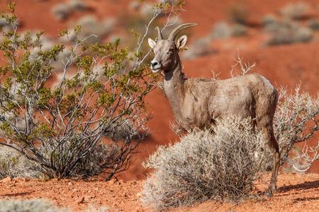Desert Big Horn Sheep in Nevada Mojave Desert
