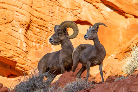 red rock: Desert Big Horn Sheep on Red Rock In Valley of Fire State Park Nevada