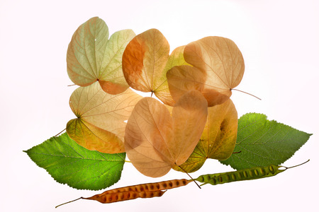 Multi-colored autumn. Three beautiful leaves isolated on white background.