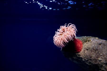 red sea anemone, sea tomato, actinaria, oceanario de Lisboa, Lisbon Stock Photo