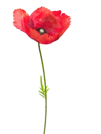 poppy leaf: 3d isolated poppy on the white background