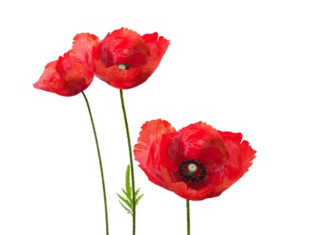 3d isolated poppies on the white background