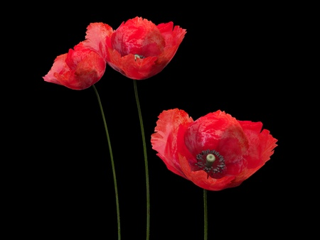3d poppies on the black backgrounnd photo
