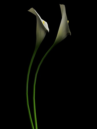 lillies: 3D callas on the black backgraund