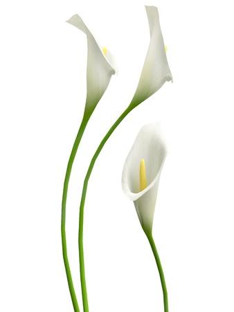 calla lily: 3D callas