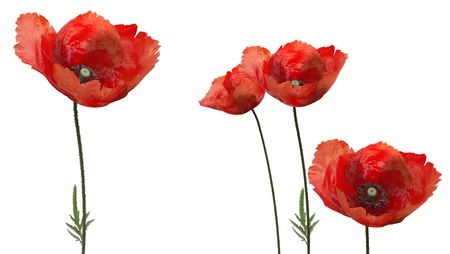 3d poppies photo