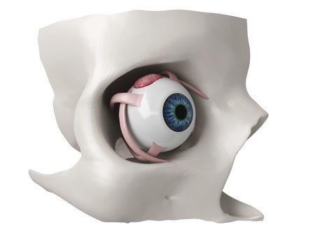 the 3d model of eye musclies  photo