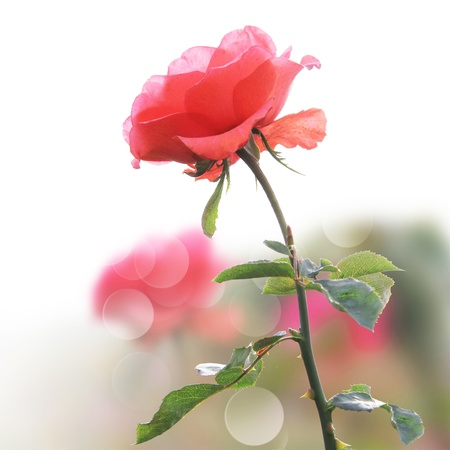 romantic pink rose in a garden Stock Photo