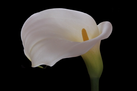 White calla wedding flower on a black background photo