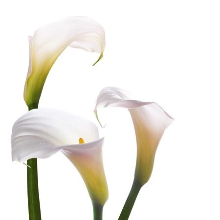 calas blancas: Flores blancas de la boda callas sobre un fondo blanco Foto de archivo