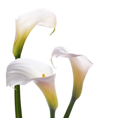 flowers horizontal: White callas wedding flowers on a white background