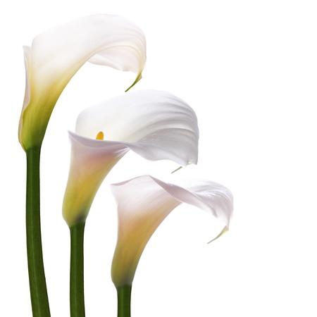 White Callas: Flores blancas de la boda callas sobre un fondo blanco Foto de archivo
