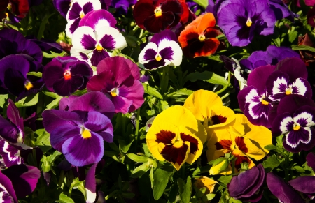 Pansy flower flowerbed on the sun day photo