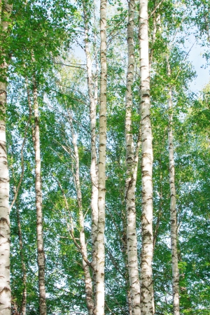 Birch tree in the summer firest russian landscape Stock Photo - 20011195
