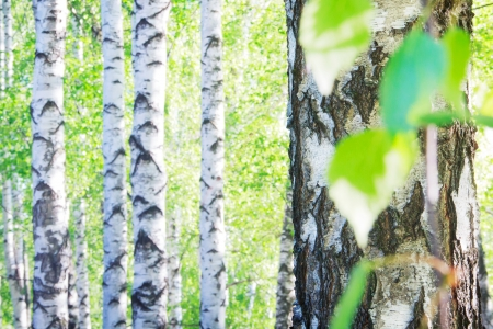 Birch tree in the summer firest russian landscape Stock Photo - 20270179
