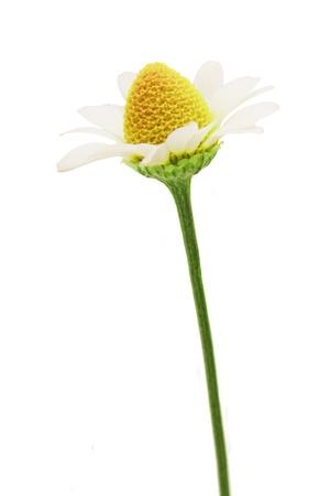 Isolated chamomile on a white background Stock Photo - 20269876