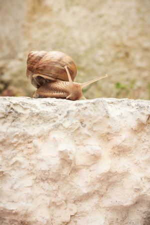 Brown snail slow motion on brown stone summer outdoor photo