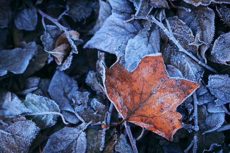 deep freeze: Heladas de oto�o congeladas ma�ana fr�a las hojas de hielo