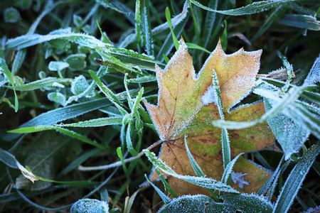 deep freeze: Hojas heladas de oto�o congeladas ma�ana fr�a de hielo de fondo