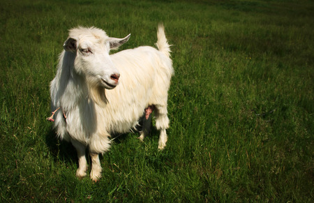 mead: White horned goat on a green mead grass background