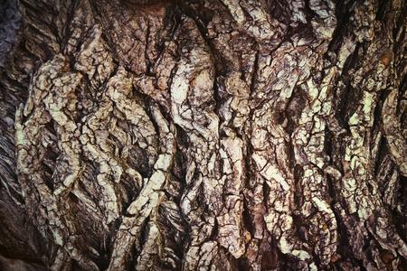 albero nocciola: impianto albero di legno texture corteccia vecchio tronco nocciola sfondo