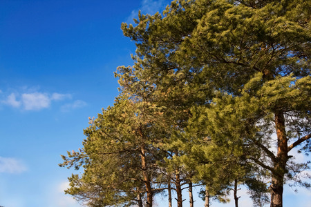 tries: Pine tries in forest on blue sky background Stock Photo