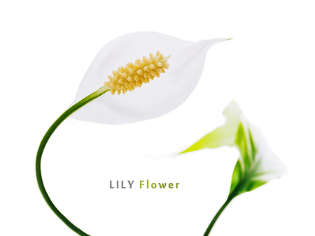 bush to grow up: White flower lily  spathiphyllumon a white background