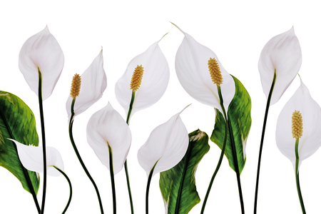 White flowers lilies purity decoration on a white background