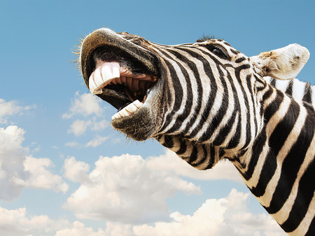 zebra head: Zebra striped happy laughting with teeth smile on a sky background Stock Photo
