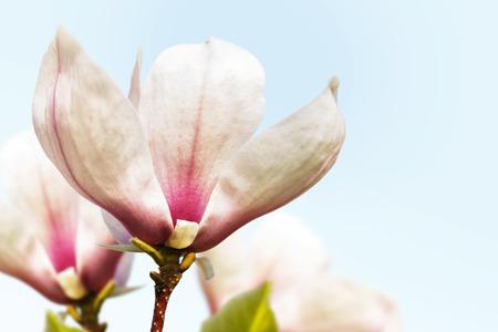fragility: Pink magnolia spring fragility flowers on sky blue background