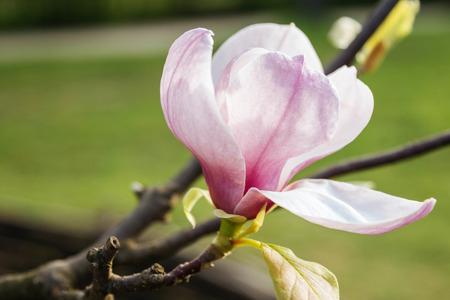 Pink magnolia spring fragility flower background