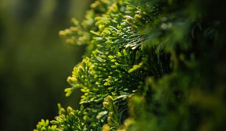 evergreen branch: Ciprés siempre verde fondo de la ramificación sol de verano