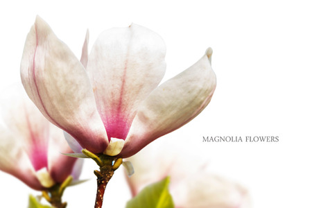 fragility: Pink magnolia spring fragility flowers on white background Stock Photo